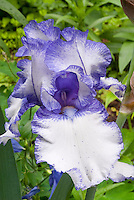 Bearded iris Orinoco Flow in bicolored white and blue with blue beard, picotee edge flower