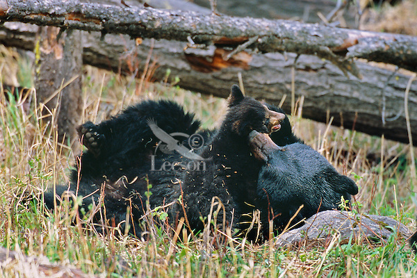 Black Bear sow plays with one young cub.  Western U.S., May.