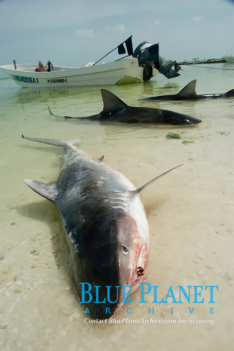 sharkfishing, A longlined dead Tiger Shark (Galeocerdo cuvier) lying in the surf. Holbox Island, Mexico, Caribbean, Atlantic
