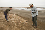 Snowy Plover (Charadrius nivosus) biologists, Karine Tokatlian and Ben Pearl, looking for hiding chicks around nest site, Eden Landing Ecological Reserve, Union City, Bay Area, California