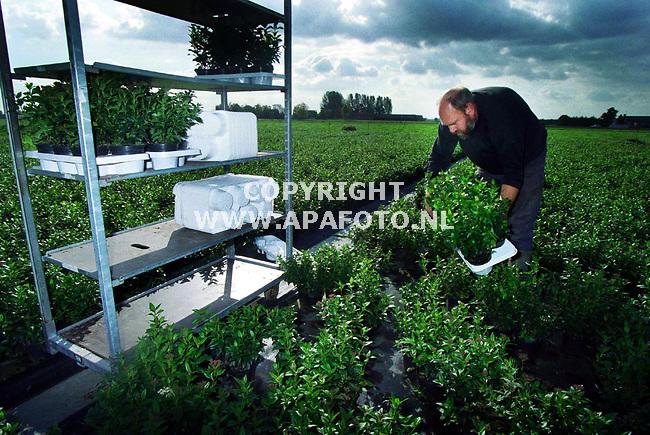 Huissen,11-10-99  foto:Koos Groenewold (APA)<br />Dhr van Hoek met `Viburnum Tinus`.<br />voor meer info:apaHoek1.jpg