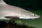 Smooth dogfish swimming right, close-up