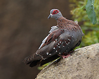 The Speckled Pigeon or Rock Pigeon (Columba guinea) is a pigeon which is a resident breeding bird in much of Africa south of the Sahara.