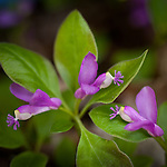 Fringed Polygala (Polygala paucifolia) in the Bangor City Forest, Bangor, ME, USA