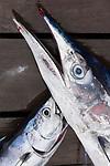 MUS, Mauritius, Grand Baie:  Ausbeute einer Angeltour, Blue Marlin | MUS, Mauritius, Grand Baie: catch of the day, blue marlin