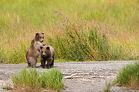 Brown bear spring cubs of the year, Katmai National Park, southwest, Alaska.