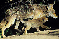Coyotes--adult and pup near their densite.  Western U.S., June.