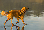 Golden Retriever on the beach with a stick in its mouth