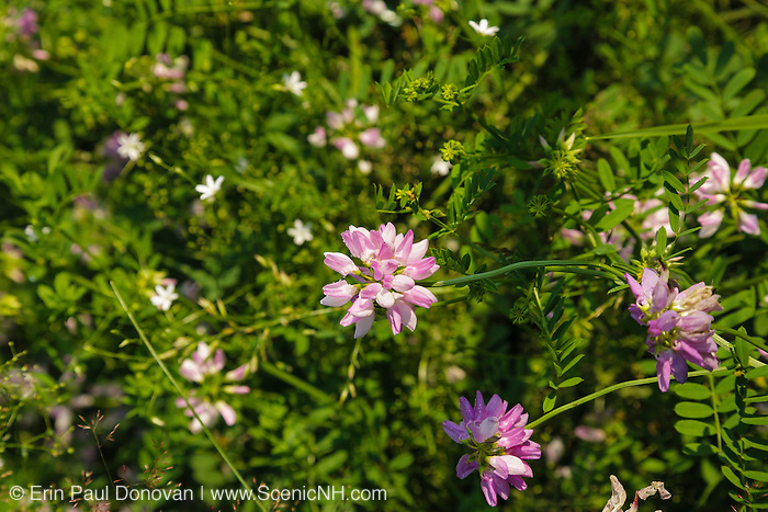 Crown-Vetch (Coronilla varia) in a New Hampshire field during the summer months. This plant is part of the Pea / Bean Family and is used to control erosion.