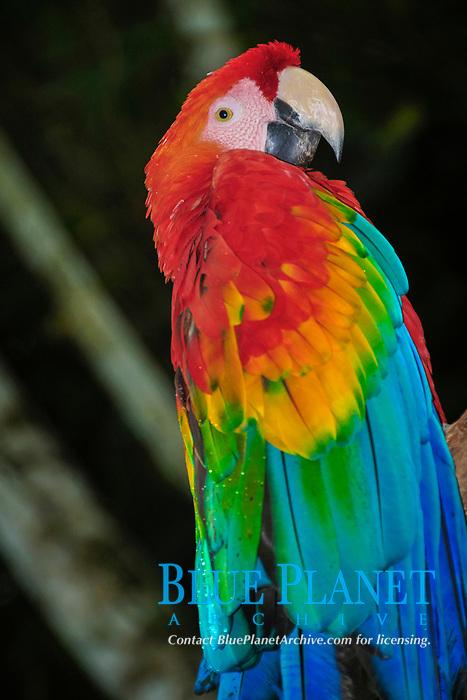 Scarlet Macaw (Ara macao), Yasunì National Park, the Amazon, Ecuador