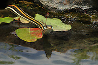 Red-striped Ribbon Snake with two mating damselflies perched on its head..