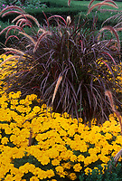 Pennisetum Rubrum purple foliage leaved plant perennial ornamental grass with orange gold marigolds, perennial plant with annual flowers