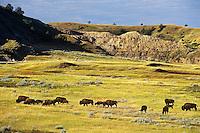 Bison herd, Theodore Roosevelt National Park, North Dakota