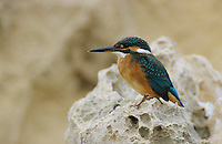 Common Kingfisher, Alcedo atthis,adult on cliff, Cyprus, Greek Island, Greece, Europe