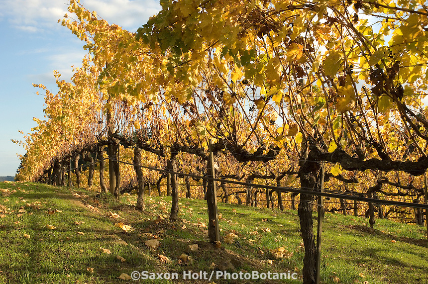 Grape vines in fall color in green field.