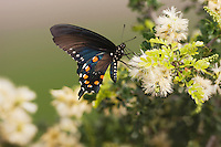 Pipevine Swallowtail (Battus philenor), adult feeding on flower, Sinton, Corpus Christi, Coastal Bend, Texas, USA