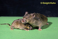 MU52-022z   Pituitary Dwarf Mouse - with normal litter mate - genetic bred mouse