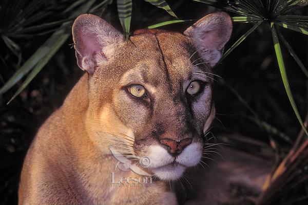 Florida Panther (Felis concolor coryi), endangered species, Florida.