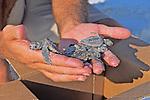 Holding Loggerhead Hatchlings