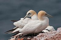 Basstölpel, Baßtölpel, Paar, Pärchen auf ihrem Nest, Vogelfelsen Helgoland, Tölpel, Sula bassana, Morus bassanus, northern gannet
