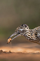 Greater Roadrunner (Geococcyx californianus),adult dust bathing, Starr County, Rio Grande Valley, Texas, USA