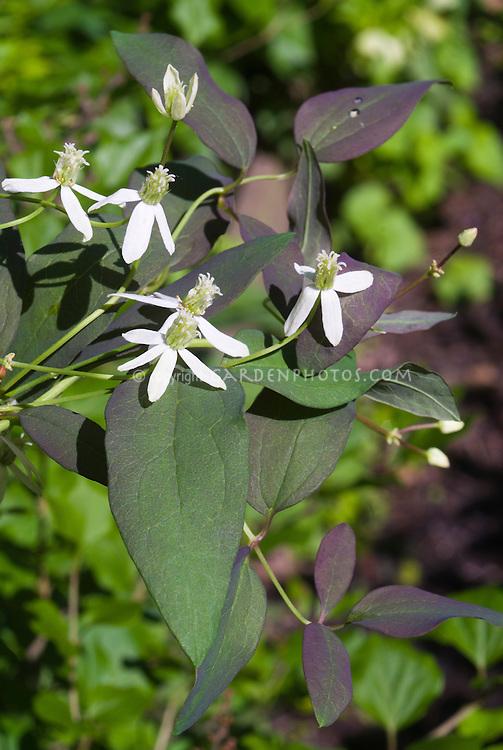 Clematis recta 'Purpurea' climbing vine in white flowers in June