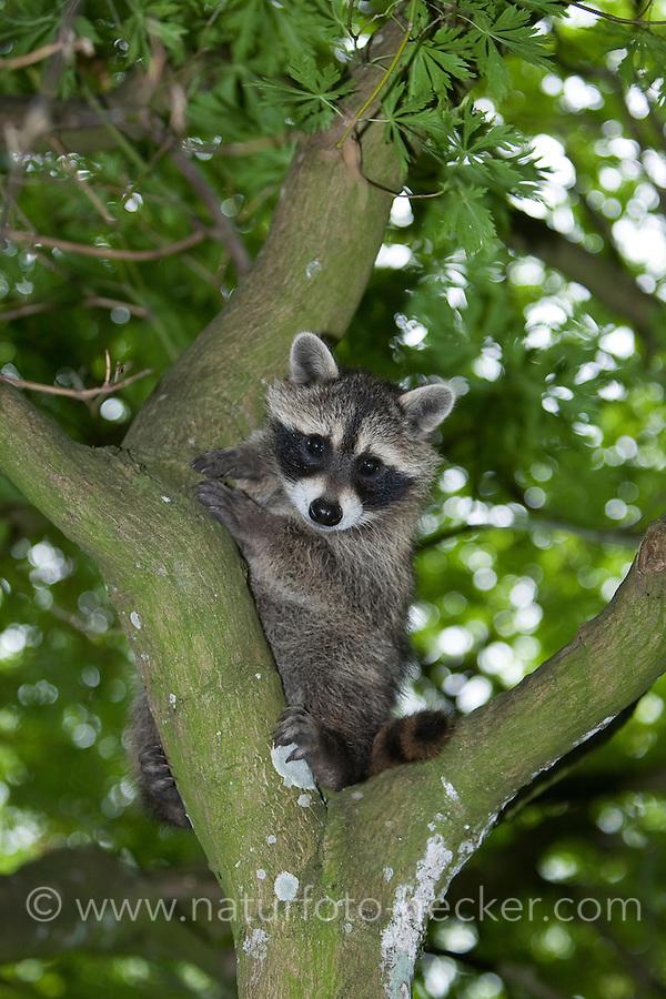 """Waschbär, knapp 3 Monate altes Jungtier klettert in einem Baum, erste Kletterversuche, Tierkind, Tierbaby, Tierbabies, Waschbaer, Wasch-Bär, Procyon lotor, Raccoon, Raton laveur, """"Frodo"""""""