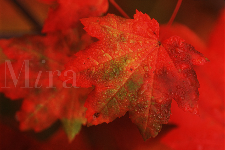 Close up of red vine maple leaves in autumn.