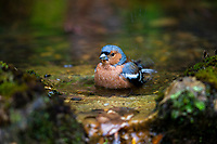 Common Chaffinch (Fringilla coelebs gengleri), male bathing in Queens Park, Invercargill, Southland, New Zealand.