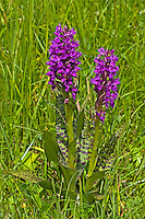 Breitblättriges Knabenkraut, Breitblätteriges Knabenkraut, Breitblättrige Fingerwurz, Dactylorhiza majalis, western marsh orchid, broad-leaved marsh orchid, fan orchid, common marsh orchid, Irish Marsh-orchid, Le Dactylorhize à larges feuilles, Dactylorhize de mai, Orchis de mai