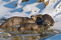 Northern River Otter (Lontra canadensis) family--otter eating cutthroat trout caught the trout, but the other otters are trying to steal a bite.  Western U.S., late fall.