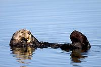 Southern sea otter or California sea otter, Enhydra lutris nereis, grooming his face, Monterey Bay National Marine Sanctuary, Monterey, California, USA, Pacific Ocean