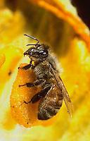 1B01-042z   Honeybee pollinating pumpkin flower - Apis mellifera