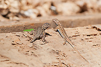 Male and female Western fence lizards, Sceloporus occidentalis. Mendocino County, California