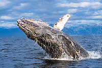 year humpback whale calf, Megaptera novaeangliae, breaching off Chichagof Island, Chatham Strait, Southeast Alaska, Pacific Ocean