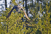 Great Grey Owl swooping down from a pine tree