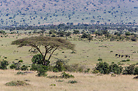 Tanzania. Scenic View,  Loliondo Concession area, adjacent to Serengeti National Park, northeast. Wildebeest lower right.