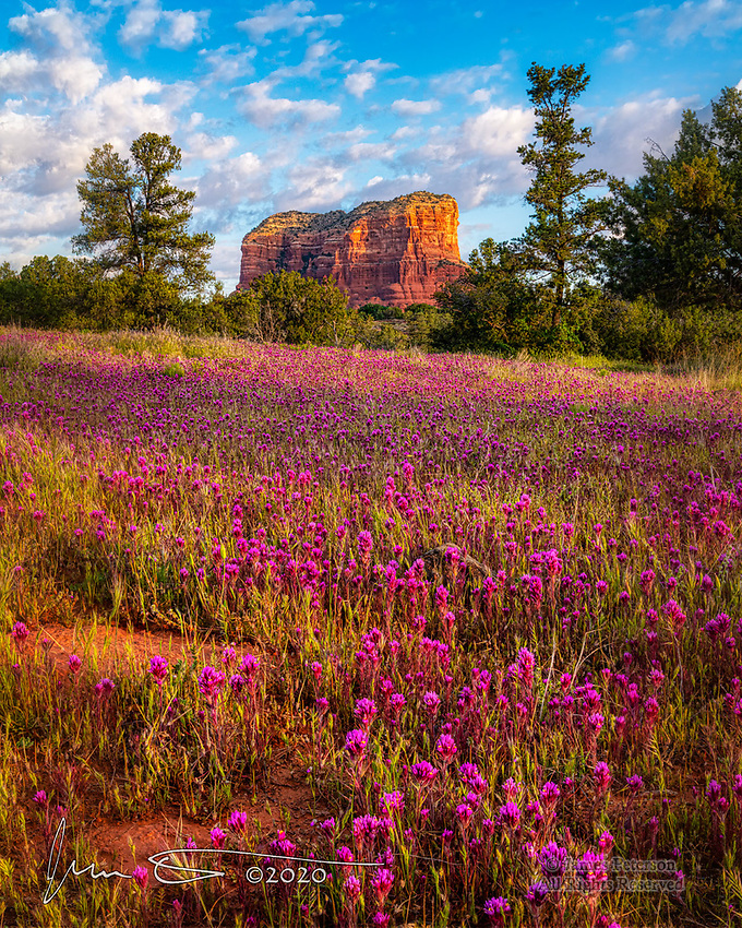 Owl's Clover Carpet and Courthouse Butte.  Thanks to a very favorable pattern of successive rainstorms over the winter and early spring, Sedona (along with most of Arizona) is seeing a great wildflower season this year.  This sunrise scene was captured at the edge of the Coconino National Forest near the Village of Oak Creek.<br /> <br /> Image ©2020 Jim Peterson