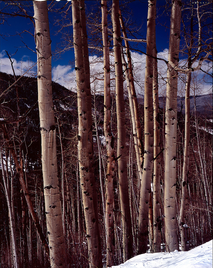 """""""Aspens on Fryingpan Road""""<br /> White River National Forest<br /> Colorado<br />  2010<br /> <br /> Fryingpan Creek, located in Gunnison County, Colorado, is well-known for its fly fishing.  During the summer months, Fryingpan Road, which parallels the creek, meanders over a pass to Leadville.  But in early spring the road often is completely blocked by snow.  At such an impasse, a beautiful copse of aspen trees was highlighted against the vivid blue skies near Aspen and Glenwood Springs.<br /> <br /> 4x5 Large Format Film"""