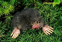 MB05-027b  Star-nosed Mole - at burrow opening - Condylura cristata