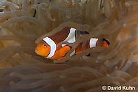 0321-1119  False Percula Clownfish (Ocellaris Clownfish), Amphiprion ocellaris, with Bulb-tipped Anemone, Entacmaea quadricolor  © David Kuhn/Dwight Kuhn Photography
