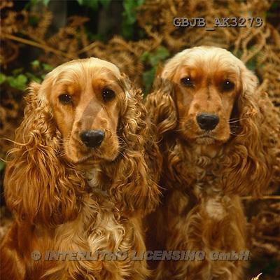 Kim, ANIMALS, dogs, photos(GBJBAK3279,#A#) Hunde, perros ,puzzles