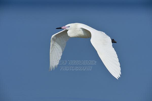 Reddish Egret (Egretta rufescens), adult white morph in flight, South Padre Island, Texas, USA