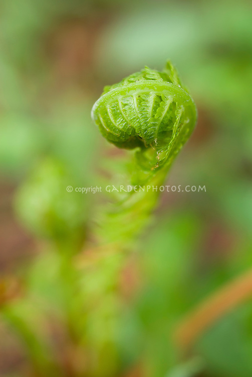 Fiddlehead new young fern growth furled in spring, Matteuccia struthiopteris, Ostrich Fern