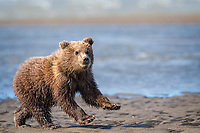This Brown Bear (Ursus arctos) cub swam across the shallows behind her here, to catch up with her mother.  When she hit the sand, mother bear caught a nice big salmon.  This cub (and her sister, out of frame) took off running towards mom.  Un-cropped image.  Lake Clark National Park, Alaska.