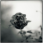 JULY 1995    -  Melbourne, Australia   - A rose in the park that surrounds the Maroondah Dam..