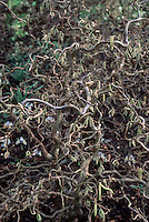 Corylus avellana 'Red Majestic' (Harry Lauder's Walking Stick, Filbert tree) twisted tree stems branches, strange bizarre plant