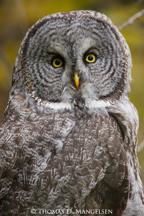 Portrait of a great gray owl in Jackson Hole, Wyoming.