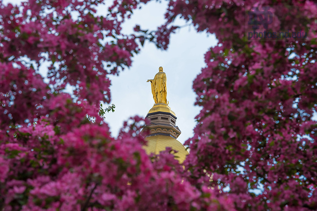 May 4, 2015; Mary statue framed by a flowering tree. (Photo by Matt Cashore/University of Notre Dame)