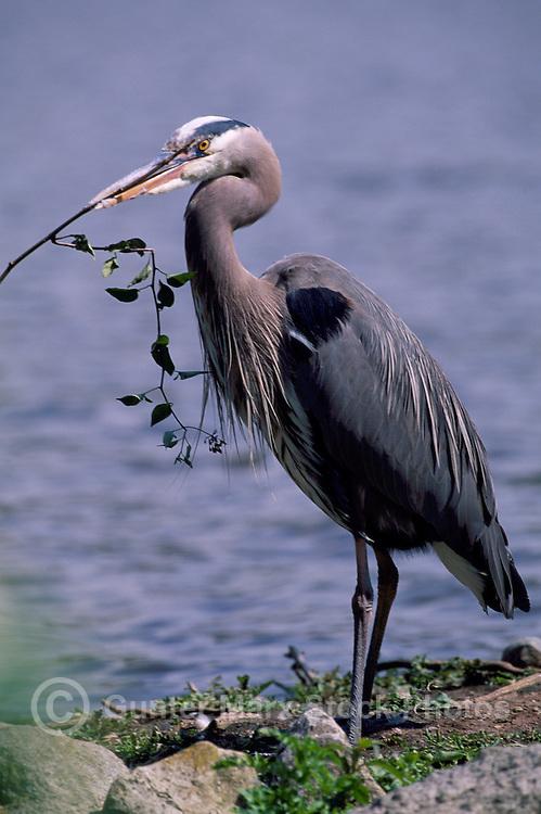 Great Blue Heron (Ardea herodias) standing on Shore beside Lake, Twig in Beak